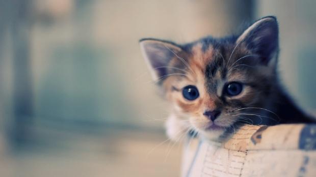 8589130566701-kitten-wallpaper-hd